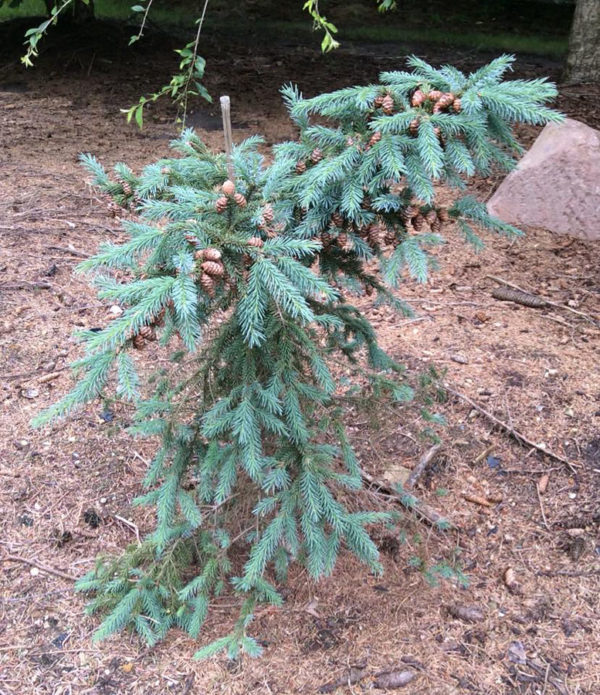 Picea mariana 'Edelweiss Weeping'