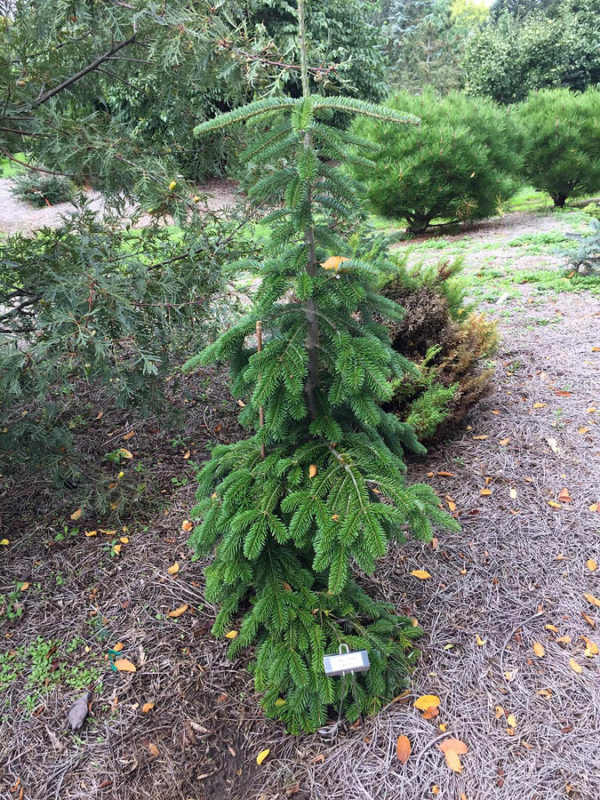 Abies fraseri 'Don Frederick'